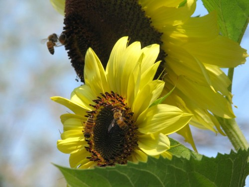 sunflower-bees