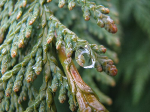 cedar with the droplet
