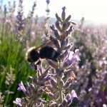 Bee with Lavender